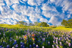 Bluebonnets in Late Afternoon Sun Royalty Free Stock Images