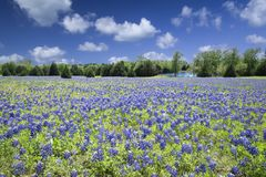 Texas Bluebonnets Bathed in Late Afternoon Sunshine royalty free stock photography