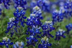 Bluebonnets mais bonitos em Texas Hill Country imagens de stock
