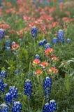 bluebonnets muśnięć indyjska farba Texas Obrazy Stock