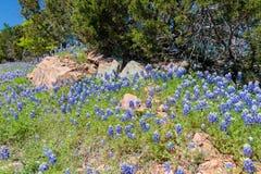 Bluebonnets nahe den Felsen Stockfotos