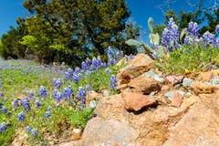 Bluebonnets nahe den Felsen Lizenzfreies Stockfoto