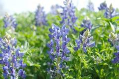 Bluebonnets no campo de Texas Nature durante a estação de mola foto de stock