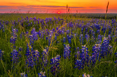 Bluebonnets no por do sol perto de Ennis, TX fotografia de stock royalty free