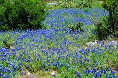 Bluebonnets och kaktus Royaltyfri Fotografi