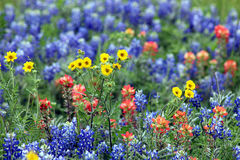Bluebonnets and paintbrush. Bluebonnets, Indian Paintbrush and greenthread wildflowers in a Texas hill country field in spring royalty free stock photography
