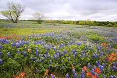 Bluebonnets perto de Ennis, Texas foto de stock royalty free