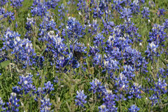 Bluebonnets que crescem em Texas central em abril Fotos de Stock