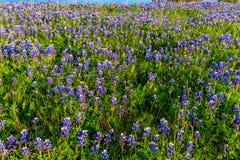 Bluebonnets sur Texas Hillside image libre de droits