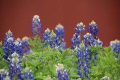 Bluebonnets Teksas Zdjęcia Royalty Free