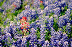bluebonnets texas royaltyfri foto