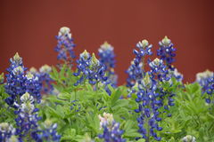 Bluebonnets of Texas Royalty Free Stock Photos