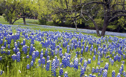 Bluebonnets in the Texas Hill Country