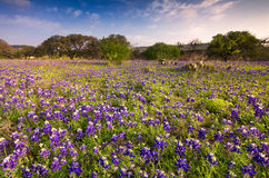 Bluebonnets in Texas Hill Country Stock Foto