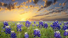 Bluebonnets in the Texas Hill Country. Bluebonnets covering a rural Texas field at sunrise