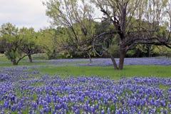bluebonnets trawy drzewa Obraz Royalty Free