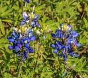 Bluebonnets und eine Biene Lizenzfreies Stockfoto