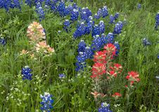 Bluebonnets und indische Malerpinsel entlang der Bluebonnet-Spur in Ennis, Texas stockfotos