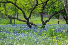 Bluebonnets unter Süßhülsenbaum-Baum Stockbilder