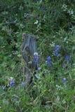 Bluebonnets wokoło drzewnego fiszorka fotografia royalty free