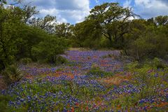 Bluebonnets y brocha india en Texas Hill Country, Tejas imagenes de archivo