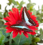 Bluebottle Butterfly. Aka Blue Triangle on Red Gerbera Daisy Stock Images
