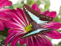 Bluebottle Butterfly. Aka Blue Triangle on Red Mum Stock Images