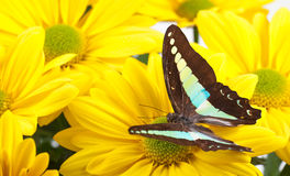 Bluebottle Butterfly. Aka Blue Triangle on Yellow Chrysanthemum Royalty Free Stock Photos