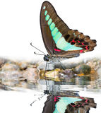 Bluebottle butterfly on water Stock Images