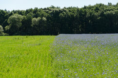 Bluebottle flowers field and meadow by forest Royalty Free Stock Photography