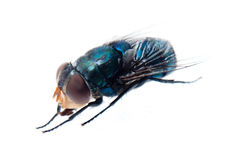 Bluebottle fly Royalty Free Stock Image