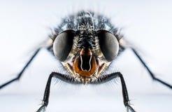 Free Bluebottle Fly Macro Royalty Free Stock Image - 78909376