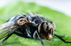 Bluebottle fly macro Stock Photography