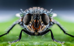 Bluebottle fly macro Stock Images