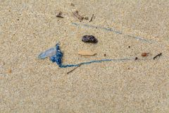 Bluebottle Jellyfish with long blue tentacle washed up on the beach with debris stock images