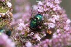 Bluebottle on Purple Flower. A Closeup of a Bluebottle on Purple Flower Stock Image