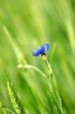 Bluebottle und Weizen stockfoto