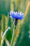 Bluebottle und Weizen Stockfotografie