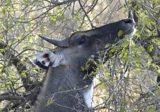 bluebull nationalpark ranthambore Στοκ Εικόνες