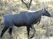 bluebull nationalpark ranthambore 免版税库存照片