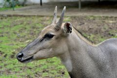 Bluebull Antelope Closeup Royalty Free Stock Photography
