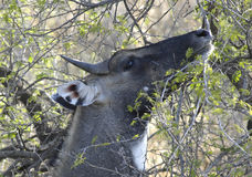 Bluebull, Ranthambore Nationalpark Stock Images