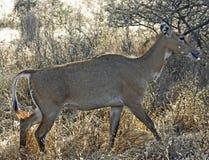Bluebull, Ranthambore Nationalpark Immagine Stock