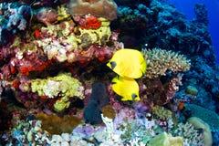bluecheek butterflyfish动物区系植物群红海 图库摄影