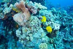 bluecheek butterflyfish Ερυθρά Θάλασσα χλωρίδας πανίδας Στοκ Εικόνα