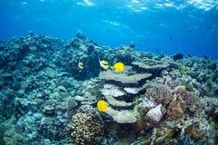 bluecheek butterflyfish Ερυθρά Θάλασσα χλωρίδας πανίδας Στοκ φωτογραφία με δικαίωμα ελεύθερης χρήσης