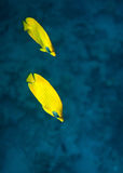 Bluecheek butterflyfish Royalty Free Stock Photos