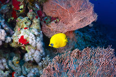 Bluecheek butterflyfish Royalty Free Stock Photography
