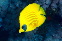 Bluecheek butterflyfish Stock Photos