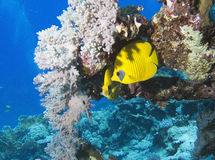 Bluecheek butterflyfish. Chaetodon semilarvatus -and coral, red sea Royalty Free Stock Photography